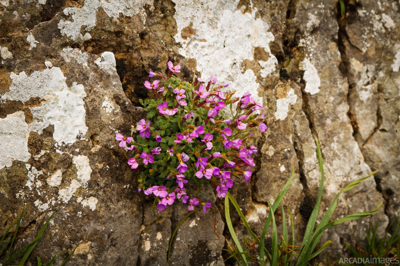 Flower on the base of the wall at Orea's Castle. Kynouria, Arcadia, Peloponnese.
