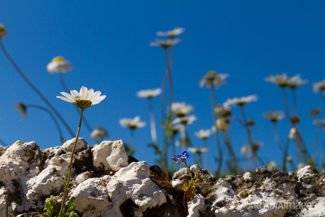 Daisies (Bellis perennis) on a wall at Kotronas village, Mani, Laconia, Greece