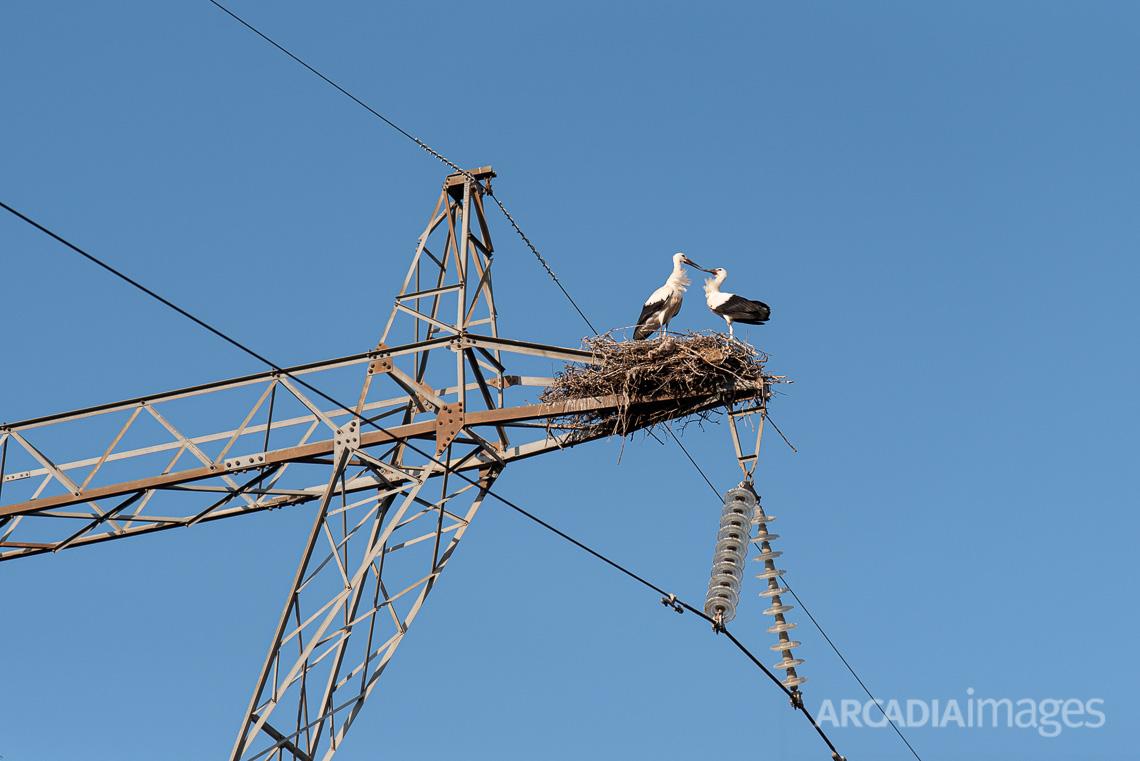 Ζευγάρι λευκοπελαργών στην Τρίπολη
